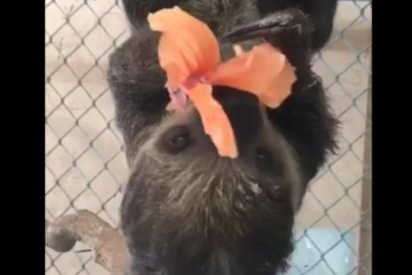 A sloth enjoys an orange flower snack. Screenshot: Zoological Wildlife Foundation/Facebook video