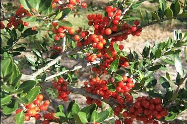 Native American yaupon holly has been used for centuries to make a caffeine tea and is getting new attention. Photo courtesy of the University of Florida