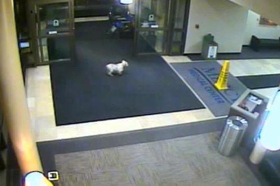 A dog ran 15 block to visit owner. Mercy Cedar Rapids/Facebook