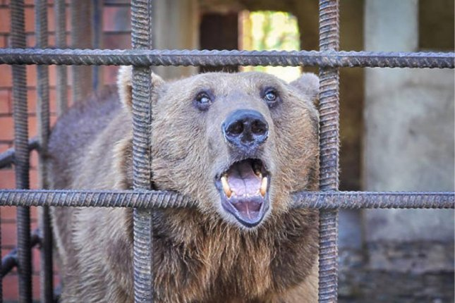 One of the two alcoholic bears living in a cage outside a Sochi restaurant. Photo courtesy of the Big Hearts Foundation
