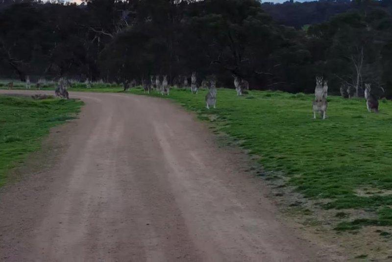 The kangaroo horde stares down a cyclist as he passes through Hawkstowe Park in South Morang. Ben Vezina/YouTube video screenshot