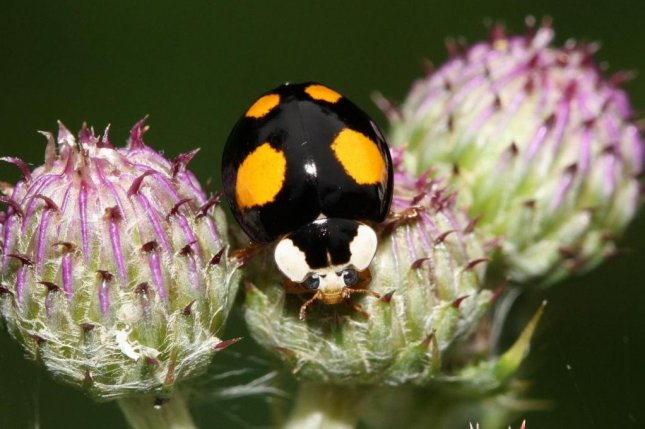 Harlequin ladybirds are taking over the world