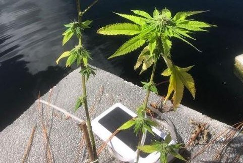 Researchers at South Florida State College study floating hemp plants for their ability to remove nitrogen and phosphorus from water. Photo courtesy of South Florida State College