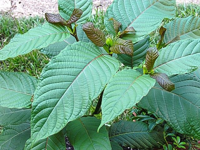 Calls to U.S. poison control centers over exposure to kratom increased to 682 calls two years ago compared to 13 calls in 2011, a new study published in the journal Clinical Toxicology shows. Photo by ThorPorre/Wikimedia Commons