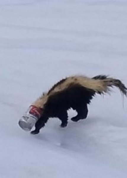 Wisconsin wardens were summoned to a frozen lake to rescue a skunk seen wandering on the ice with a soup can stuck over its face. Photo courtesy of the Wisconsin Department of Natural Resources