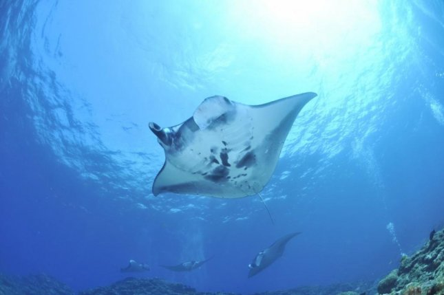 The Maldives hosts the largest reef manta ray population in the world. Photo by pxhere