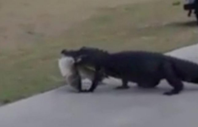 A woman at a Florida golf course captured footage of a large alligator carrying a massive fish in its mouth as it sauntered from a pond to another body of water. Screen capture/ABC Action News/AOL