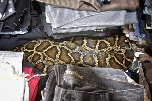 This 7-foot-long Burmese python was found curled up in a pile of clothes at a Homestead, Fla., flea market. @MiamiDadeFire/Twitter