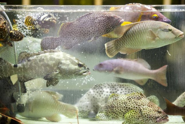 Some female fish evolve bigger brains as males develop larger genitals