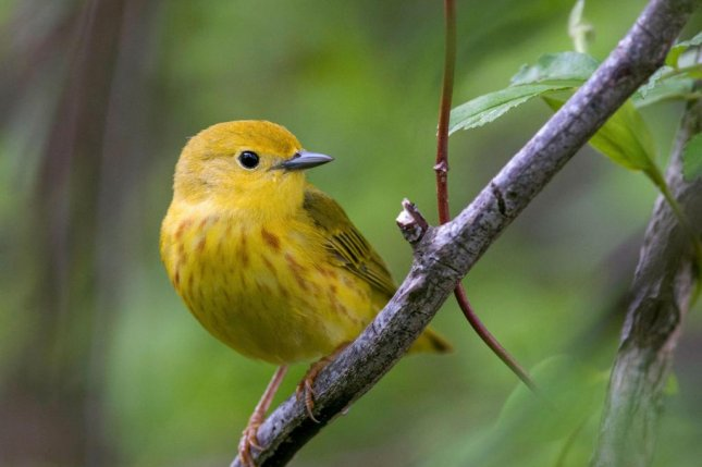 Hundreds of birds species in North America, including the yellow warbler, could be pushed to the brink of extinction should climate change continue. Photo by Brian Collier/Audubon Photography Awards
