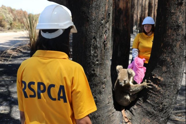 Rescue teams from RSPCA South Australia have been deployed to Kangaroo Island to assist the koala population, whose habitat has been decimated by wildfire. Photo courtesy RSPCA