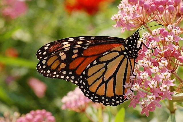 A monarch butterfly visits swamp milkweed. Photo by Derek Ramsey/CC.