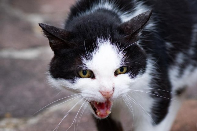 A cat held a Wisconsin couple hostage after acting crazy and forcing the couple to seek the help of authorities. The woman called police saying the cat attacked her husband and asked for help removing the cat. Photo by Andrea Izzotti/Shutterstock