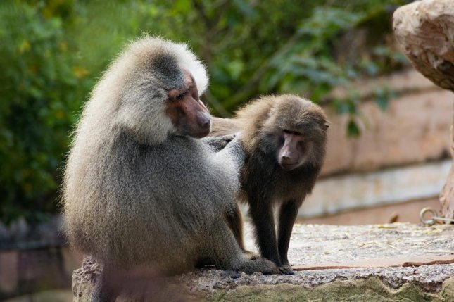 Male primates with showier secondary sexual traits, like the large noses of hamadryas baboons, have smaller testicles. Photo by andy004/Pixabay