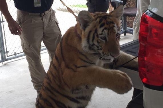 Police seek owner of loose tiger found wandering Texas city
