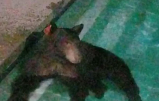 A bear took a dip in a resident's pool as it visited a California neighborhood for the third time this week. 
