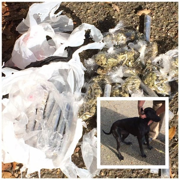 A Mississippi dog came home from wandering the neighborhood with a bag that turned out to contain about a pound of marijuana. Photo courtesy of the Jones County Sheriff's Office