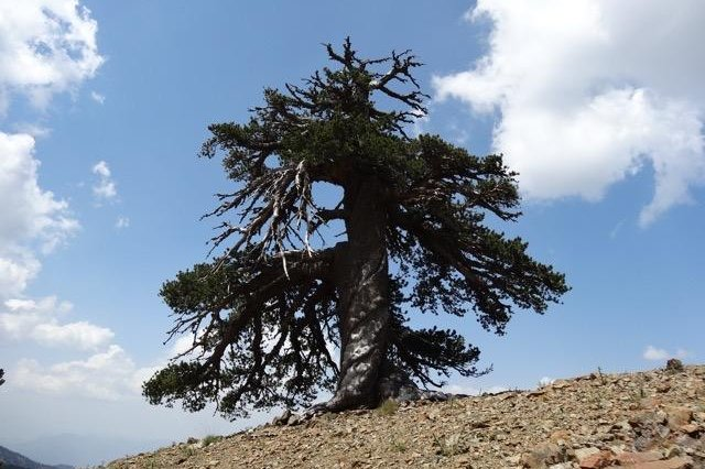 A newly discovered Bosnian pine in northern Greece is more than 1,075 years old. Photo by Oliver Konter/University of Mainz