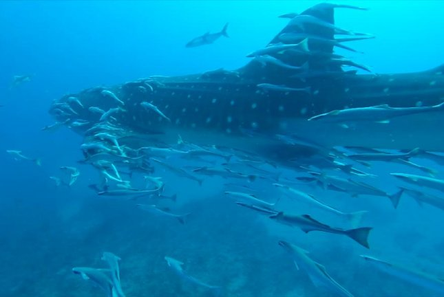 Watch: 35-foot Whale Shark Approaches Scuba Divers In