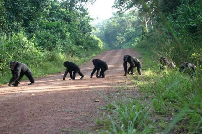 According to a new study, chimp density peaks and begins declining around 10 miles away from major roads and four miles from minor roads. Photo by Kimberley Hocking/University of Exeter