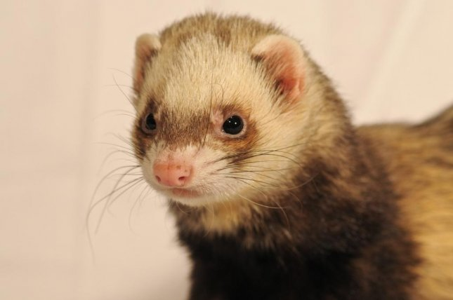 A Canadian driver received a traffic citation for wearing a ferret around the neck while driving. The ticket was one of 2,442 given out by Edmonton police during a 24-hour traffic stop.