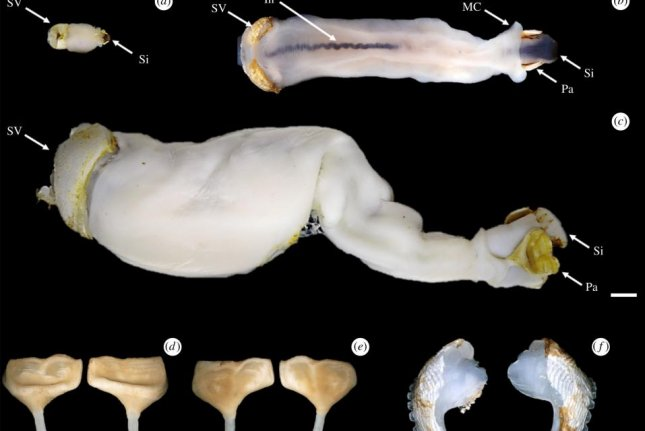 Scientists found the new species of shipworm boring through limestone in a river in the Philippines. Photo by J. Reuben Shipway, et al./Proceedings of the Royal Society B