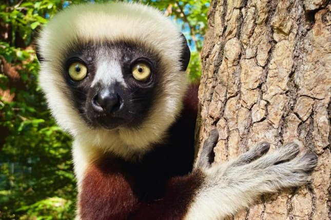 When fruits and flowers are plentiful, leaf-loving lemurs called sifakas diversify their diets, but their diverse diets may help them habitat fragmentation and deforestation. Photo by Lydia Greene/Duke University