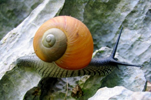 Researchers say the parasite has the potential to infect all types of snails, whether invasive or not. Photo by Rosino/Flickr