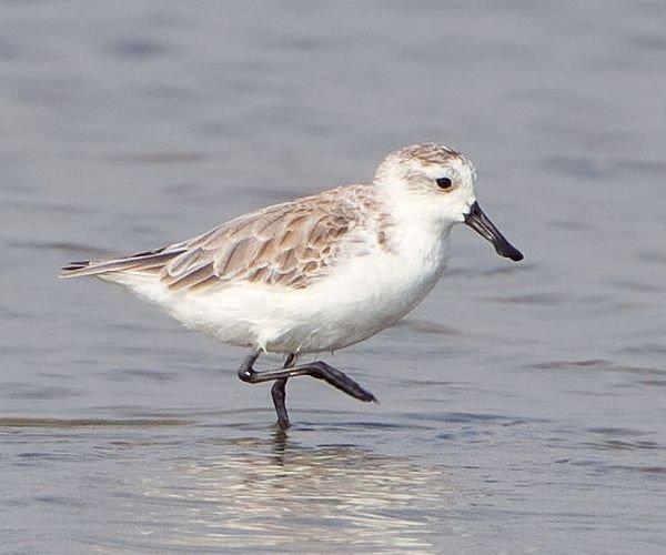 Spoon-billed Sandpiper {http://en.wikipedia.org/wiki/File:Eurynorhynchus_pygmeus_-_Pak_Thale.jpg} courtesy of JJ Harrison via Wikipedia}