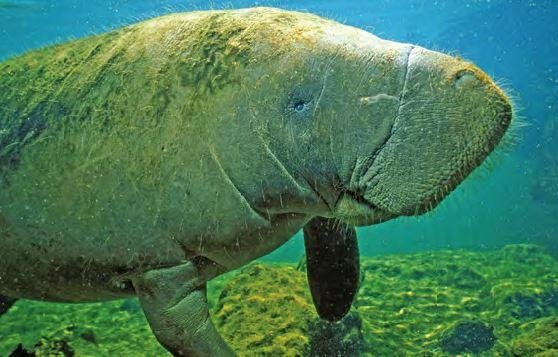 The manatee, an aquatic mammal native to Florida, was removed from the U.S. Department of the Interior's endangered list on Thursday, and is now regarded as a threatened species. Thought in the 1970s to be nearly extinct, a 2016 survey found 6,620 manatees living in Florida waters. Photo courtesy of the Florida Fish and Wildlife Conservation Commission