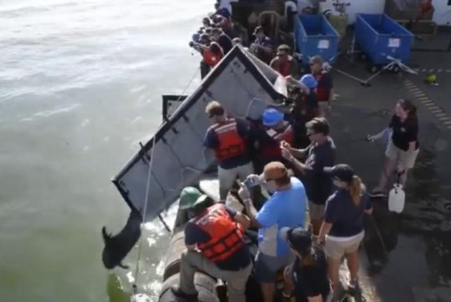 A Coast Guard crew and marine rescuers return a pair of pygmy killer whales to the Gulf of Mexico after months of rehabilitation. Screenshot: Storyful