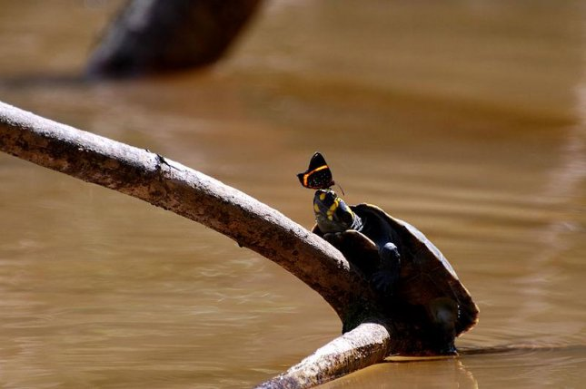 A butterfly puddling or drinking the tears of a yellow-spotted river turtle in the western Amazon rainforest. (Credit: Geoff Gallice)