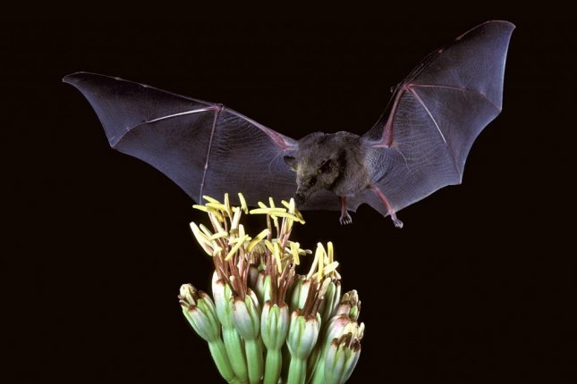 Jumping genes have moved back and forth between bats and frogs several times, researchers found. Photo by Wikimedia Commons