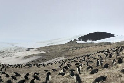 With the help of a self-flying swarms of drones, researchers were able to conduct a survey of penguins in Australia in just three hours. Photo by Parker Levinson/Stanford University