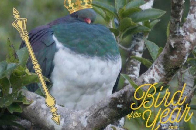 The kereru, a New Zealand bird famous for its size and drunk behavior, was dubbed Bird of the Year in a conservation group's annual poll. Photo courtesy of Forest & Bird