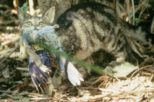 Feral cats are a major driver of species loss in Australia. Photo by Brisbane City Council/Wikimedia Commons
