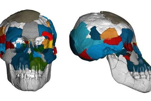 New analysis of brain imprints on ancient skull fossils suggests the hominin Australopithecus afarensis had an ape-like brain and prolonged human-like brain growth. Photo by Philipp Gunz/CC