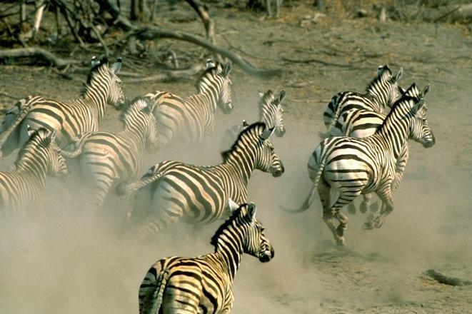 A herd of Burchell's zebras gallup through Namibia. (WWF-US/Steve Morello)