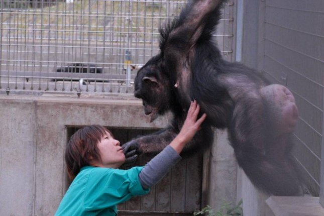 Kanako, the second chimp to be diagnosed with Down syndrome, interacts with one of her caretakers in Japan. Photo by Kumamoto Sanctuary/Kyoto University