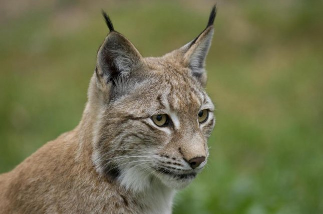 Illegal hunting has pushed lynx populations in Europe to the verge of extinction. Photo Ralph Frank/WWF