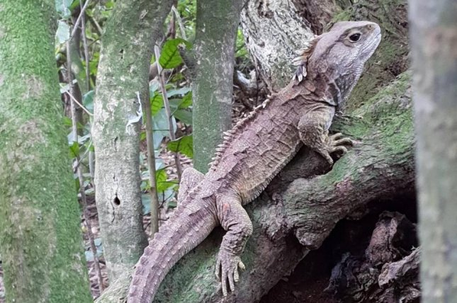 The tuatara is native to New Zealand and, according to a new study, shares genetic heritage with both reptiles and mammals. Photo by Nicola Nelson/University of Adelaide