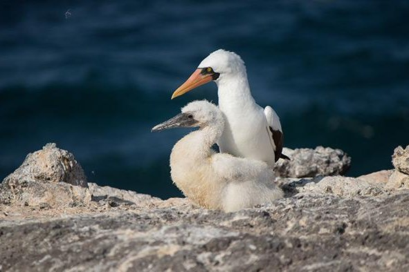 A new study reveals how the loss of sardines from ocean warming around the Galapagos Islands has affected the Nazca booby reproduction pattern. Photo courtesy of Wake Forest University