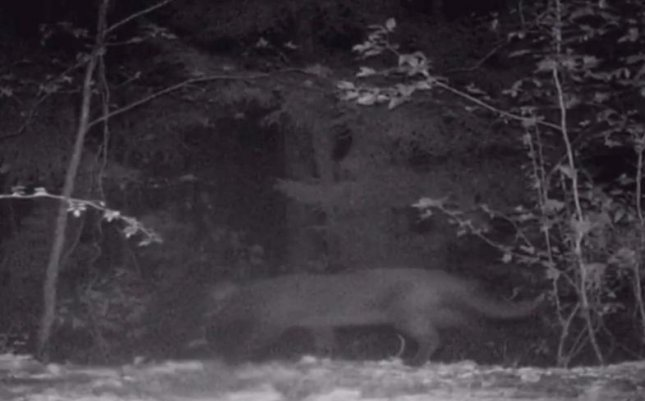 The New Jersey Department of Environmental Protection determined a possible mountain lion spotted in the area was actually a house cat. Grainy photo and video taken of the animal near a vineyard and nearby wooded area made the cat appear much larger, but a DEP spokesman said mountain lions have not existed naturally in the area for about a century.  Screen capture/CBS Philadelphia/AOL