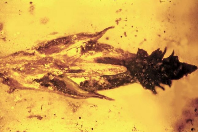 An ancient piece of grass in amber. Photo by George Poinar/Oregon State.