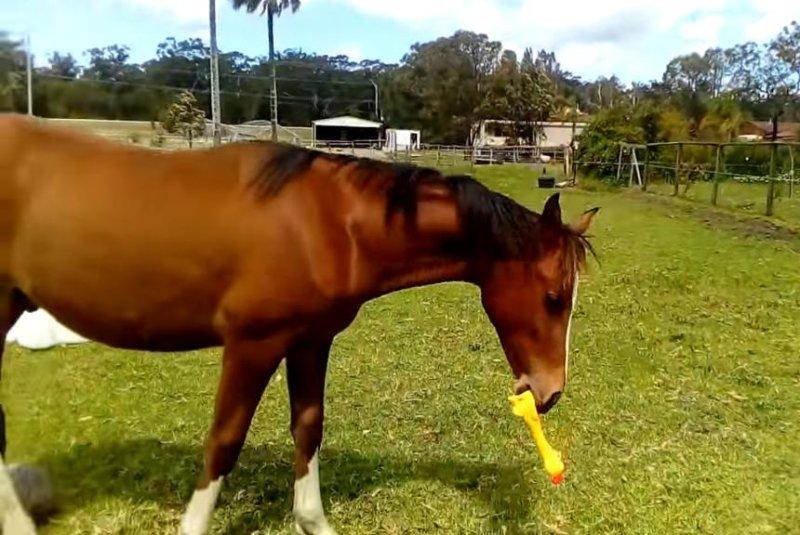 A horse named Kruzah enjoys some rubber chicken playtime. Screenshot: JukinMedia