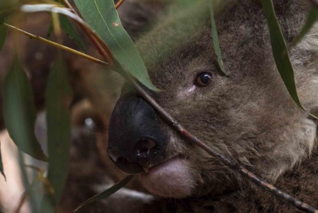 Australian National University is caring for 11 koalas displaced or injured by bush fires that have raged across the country for months, including three caretakers have named after American firefighters who were killed last week. Photo by Ben Keogh courtesy of ANU