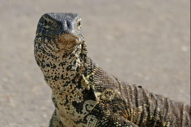 A Louisiana man revealed his pet Nile monitor lizard escaped from his home and is wandering loose in Livingston Parish. Photo courtesy of Bernard DuPont/Wikimedia Commons