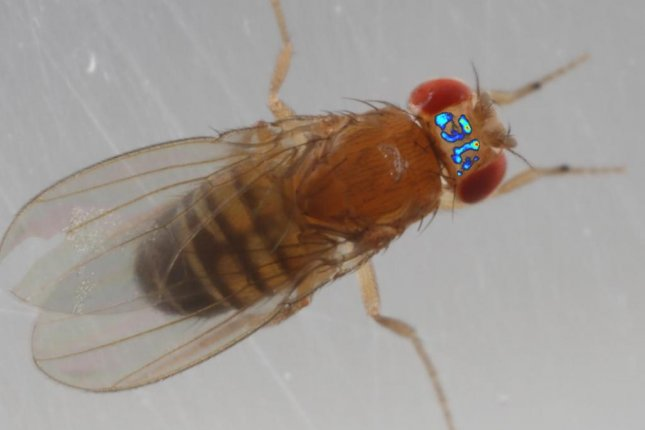 A brain scan imaged by the new tracking system is seen superimposed on a picture of a fruit fly. Photo by Takeo Katsuki/Kavli Institute for Brain and Mind/UC San Diego