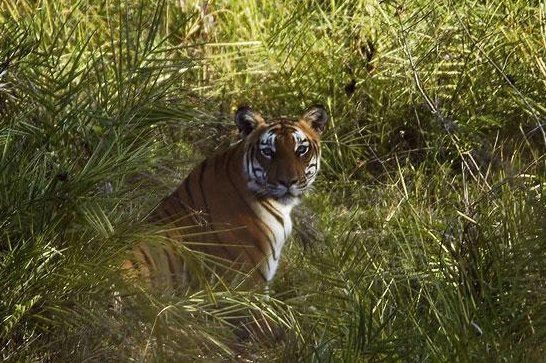 A tiger, like this one in the Badipur tiger reserve in India, was captured after killing at least three people in the Indian state of Karnataka. (CC/Yathin S Krishnappa)