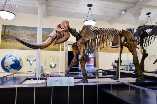 New research suggests North American mastodons traveled great distances, moving northward as glaciers receded during the Pleistocene. Photo by D. Finnin/American Museum of Natural History